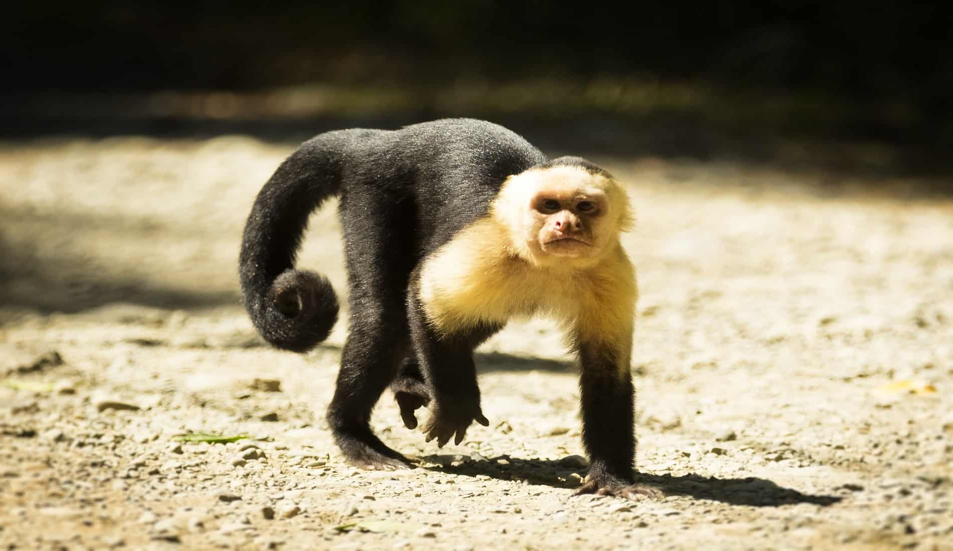 kapucijnaap in costa rica