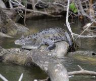 Krokodil lamanai