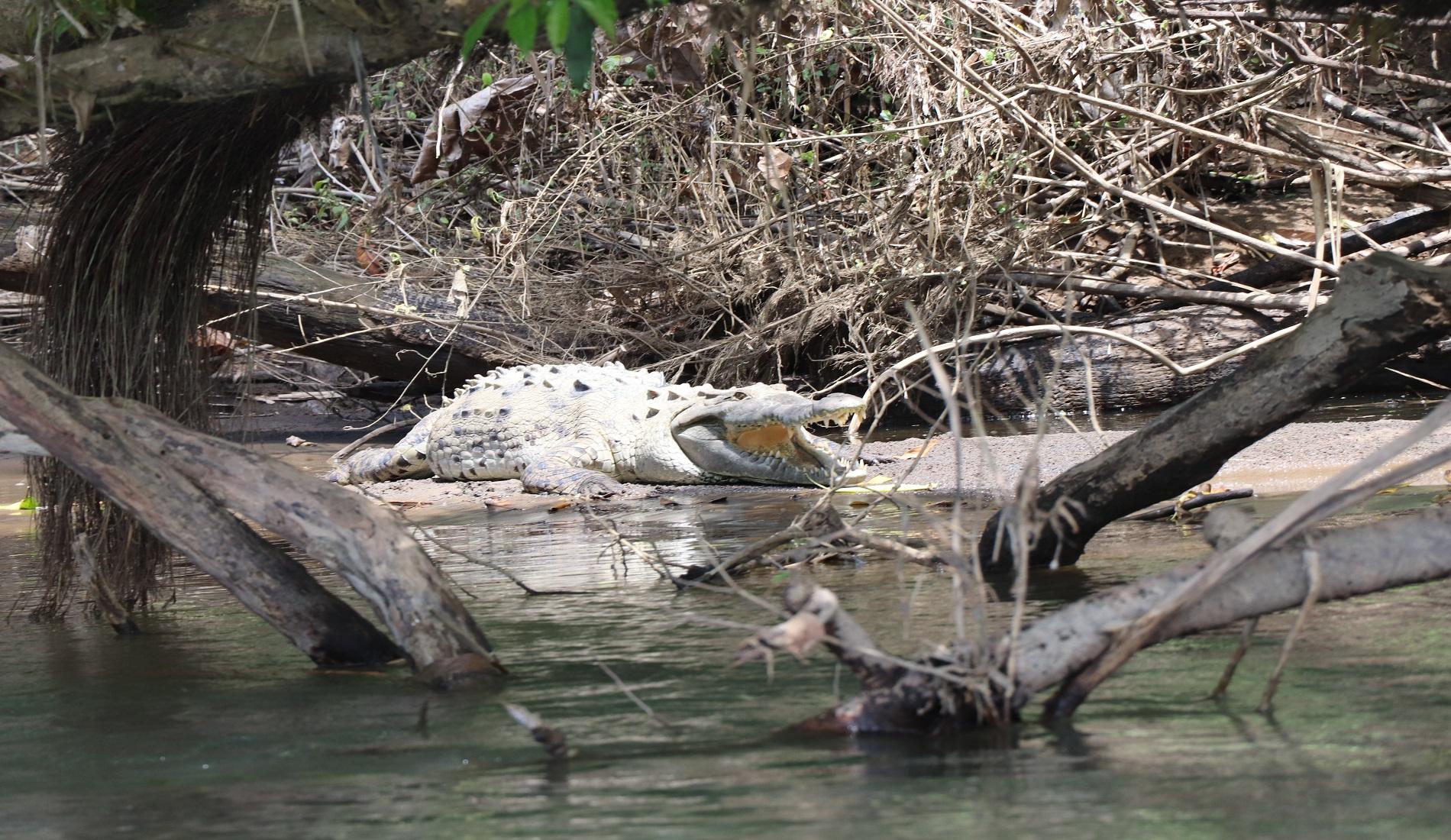 krokodil boca tapada