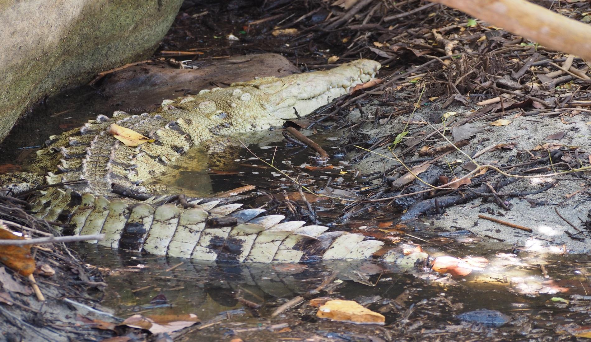 krokodil tayrona