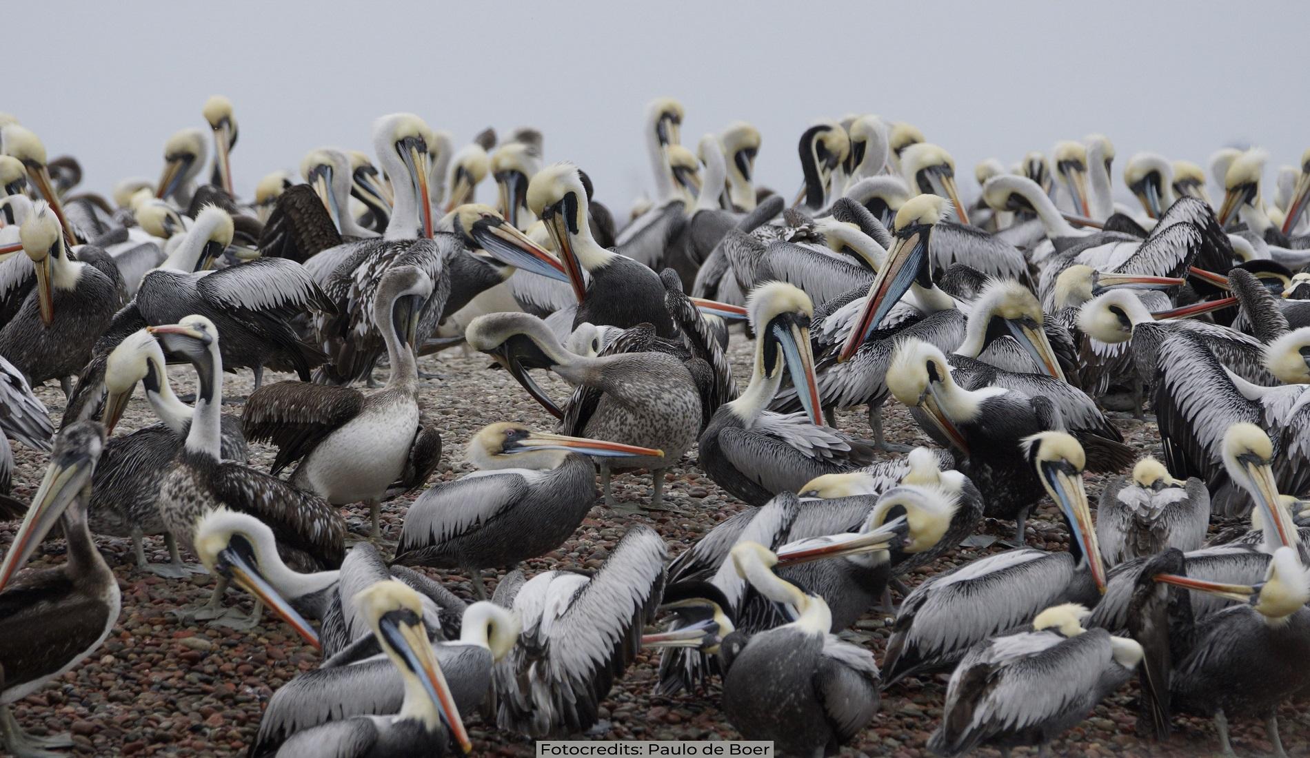 pelikanen paracas