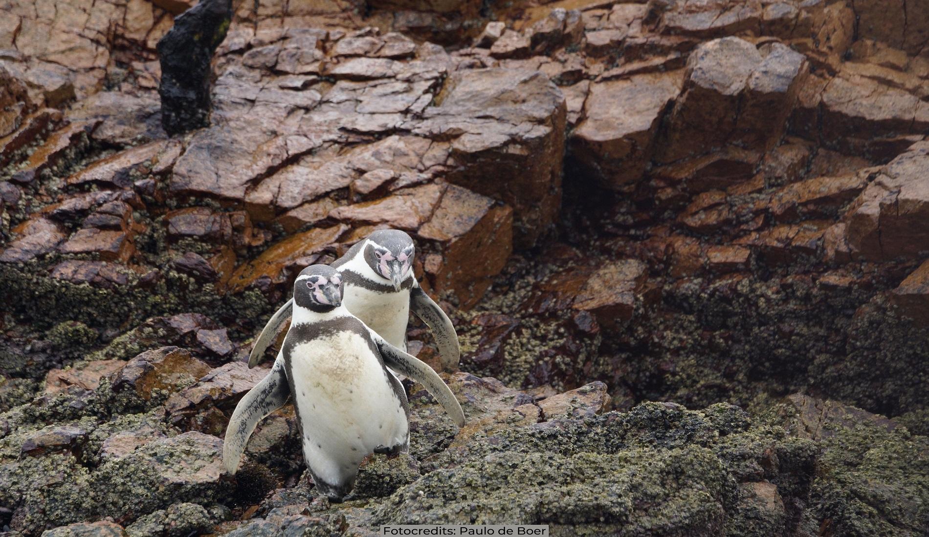pinguins peru hoogtepunten paracas