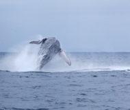 Puerto Lopez walvissen
