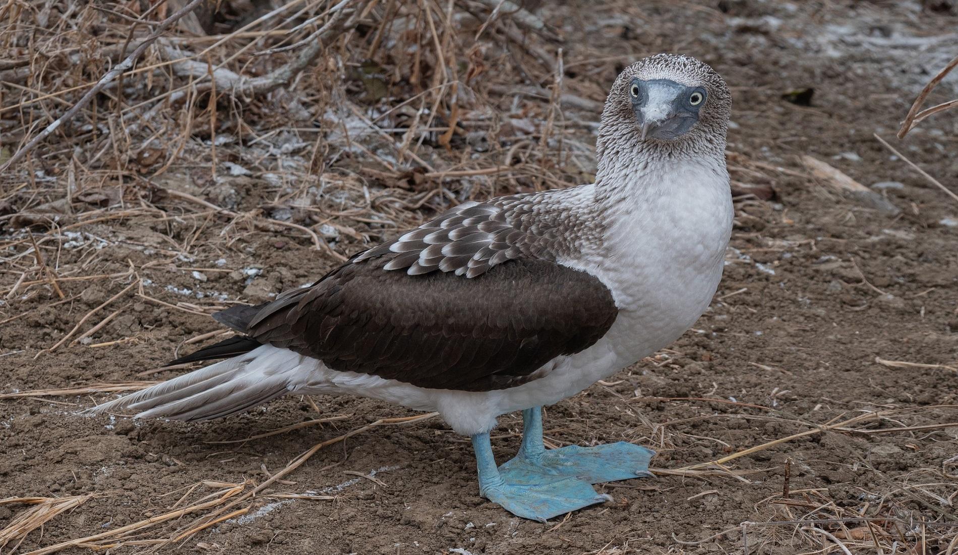 rondreis galapagos eilanden Blue footed booby