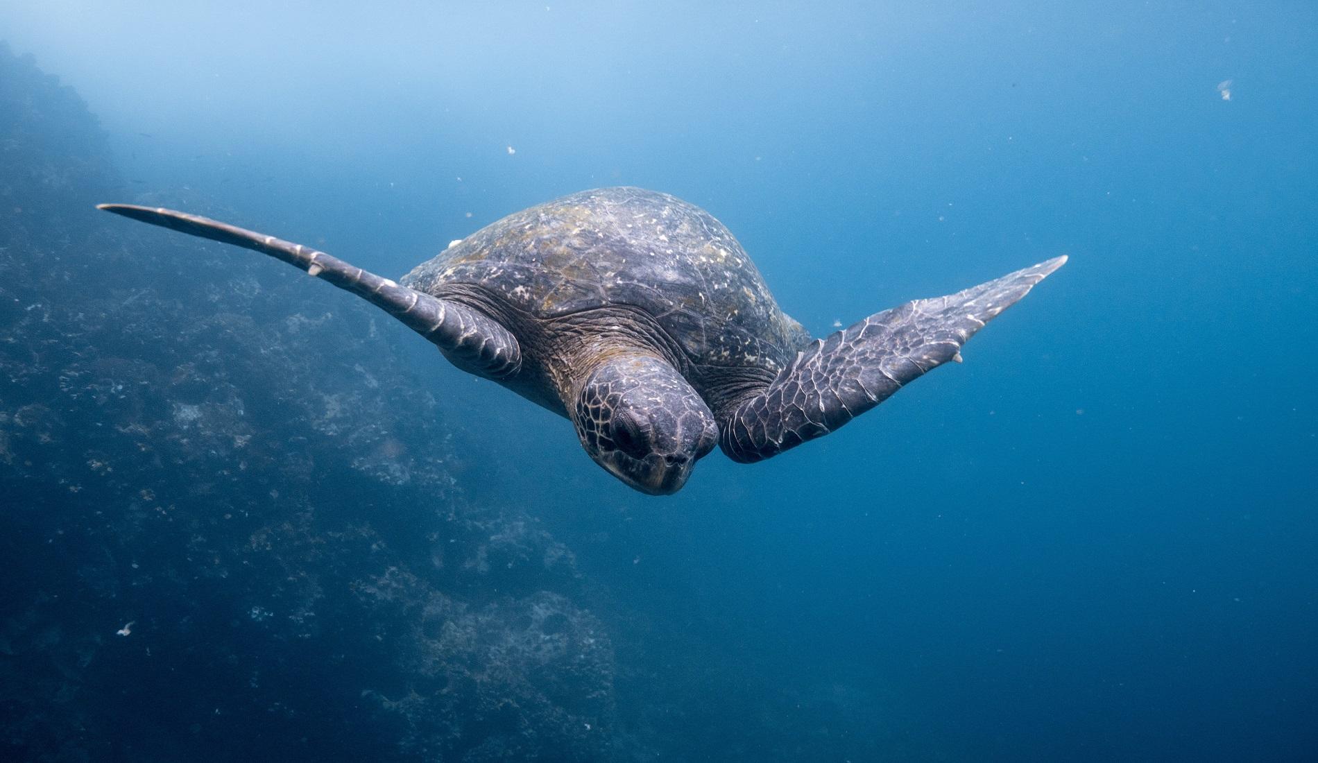 schildpad duikreis galapagos eilanden