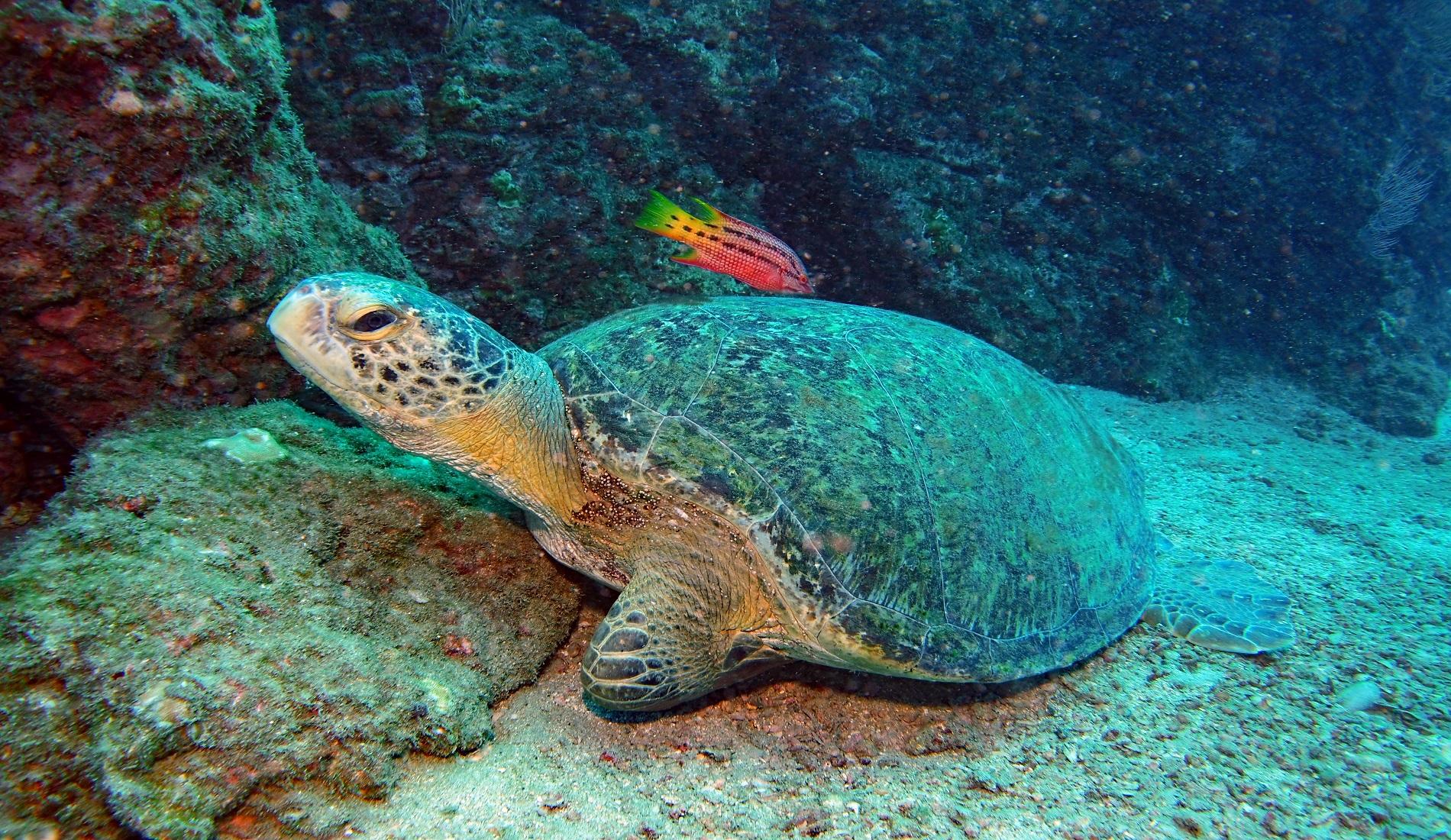 schildpad met vis cano island