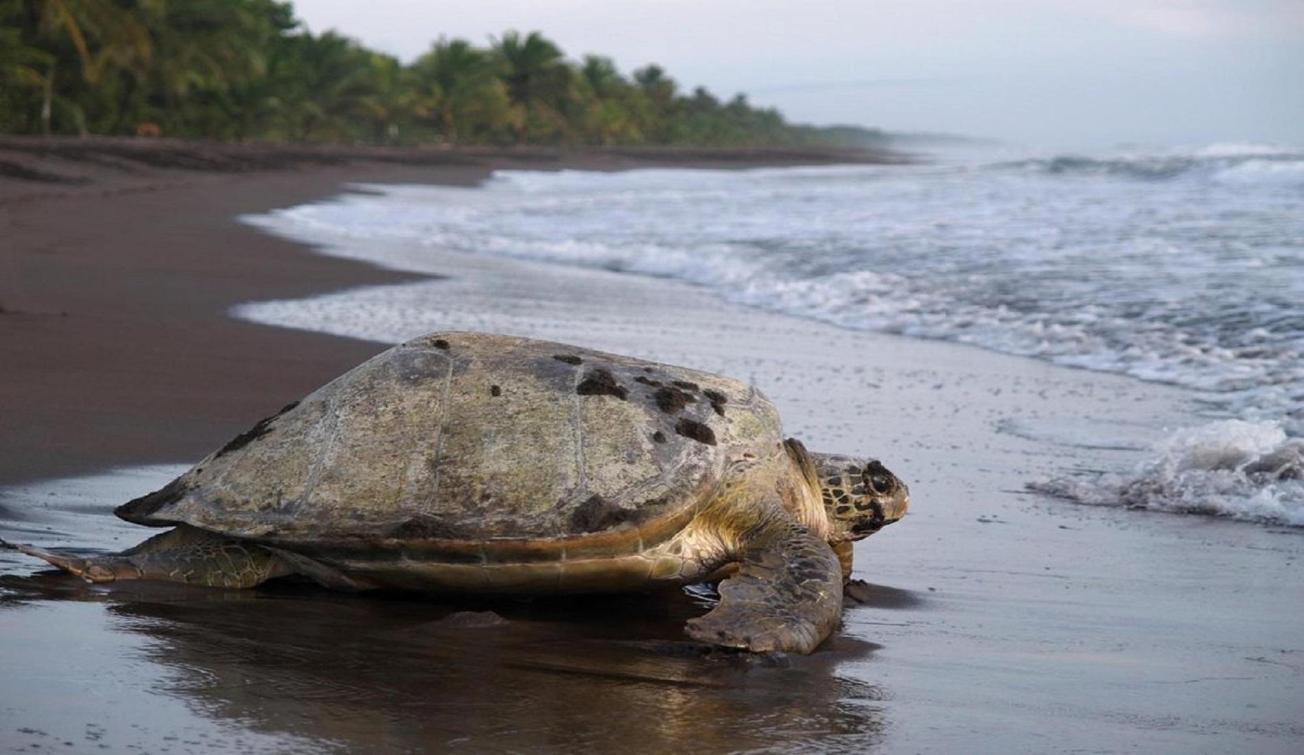 schildpad tortuguero rondreis costa rica en panama
