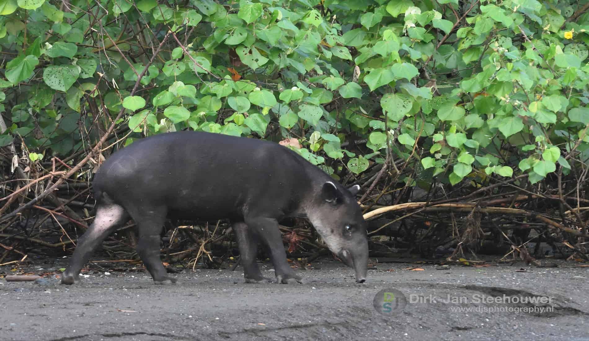 Tapir Corcovado