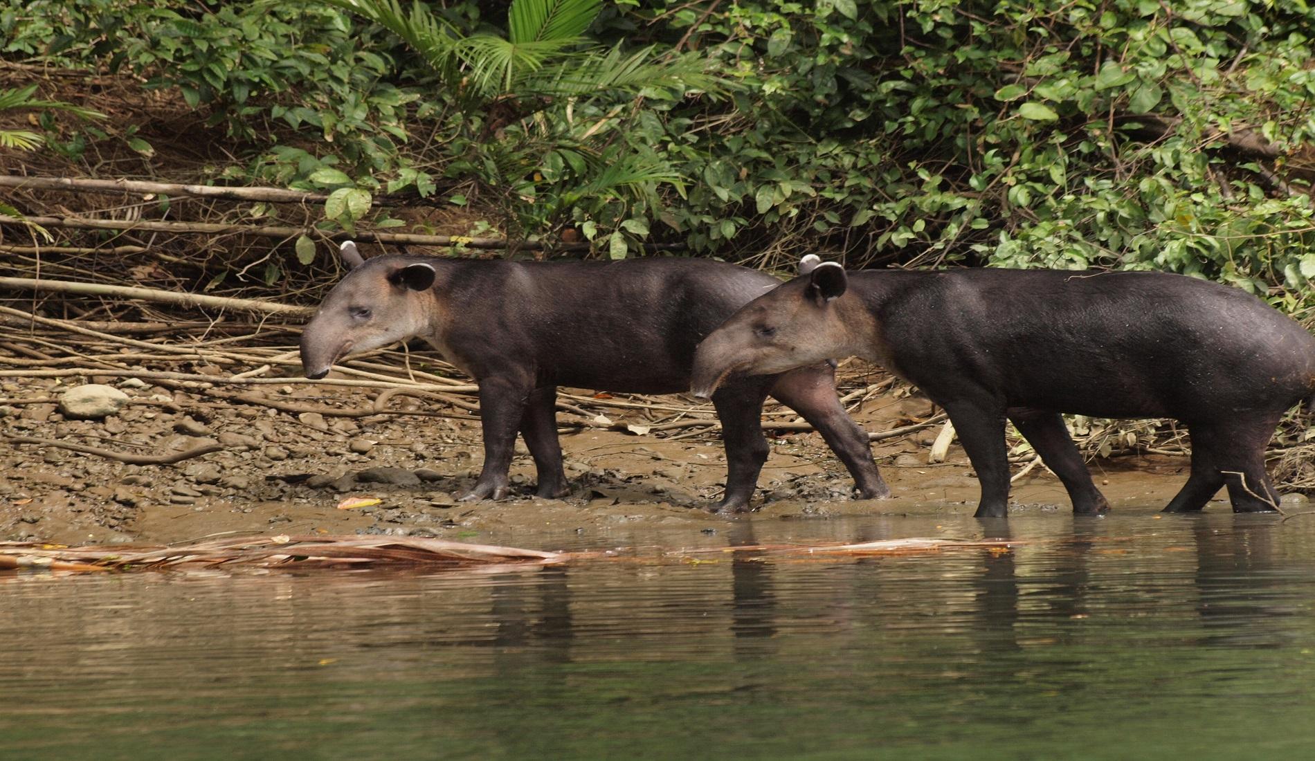 tapirs costa rica hoogtepunten
