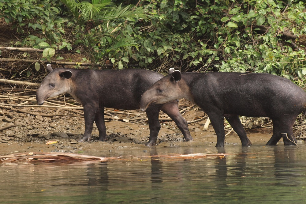 Tapirs reis nationaal park corcovado