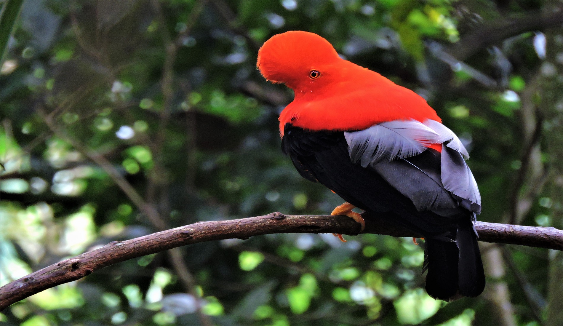 vogelreis colombia cock of the rock