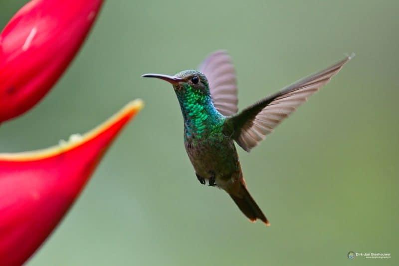 vogelreis costa rica kolibrie